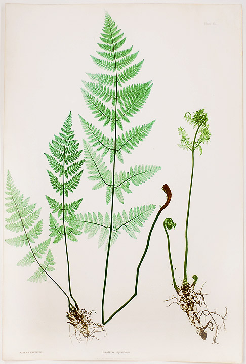 Lastrea spinulosa [Prickly Buckler Fern]. Thomas MOORE.