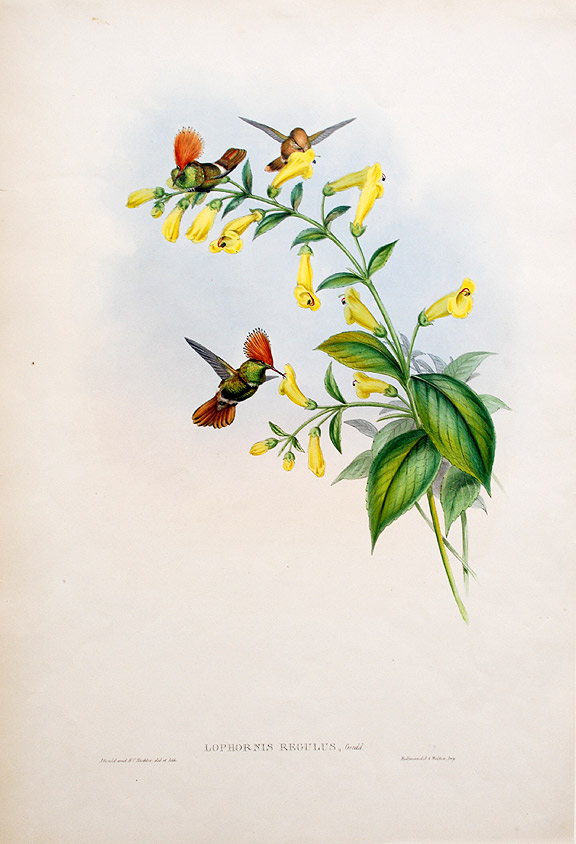 [Great-Crested Coquette] Lophornis Regulus. John GOULD.