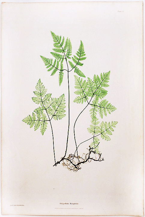 Polypodium Dryopteris [Smooth Three-Branched Polypody, or Oak Fern]. Thomas MOORE.