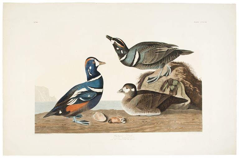 Harlequin Duck. John James AUDUBON.