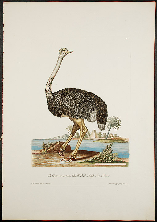 [Ostrich]. Georg Wolfgang KNORR.