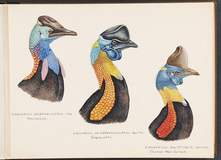 "An album of original watercolour drawings of Cassowaries, with related manuscript title ""Kasuare / Walter Rothschild"" Lionel Walter ROTHSCHILD, Baron Rothschild, - John Gerrard KEULEMANS, artist."