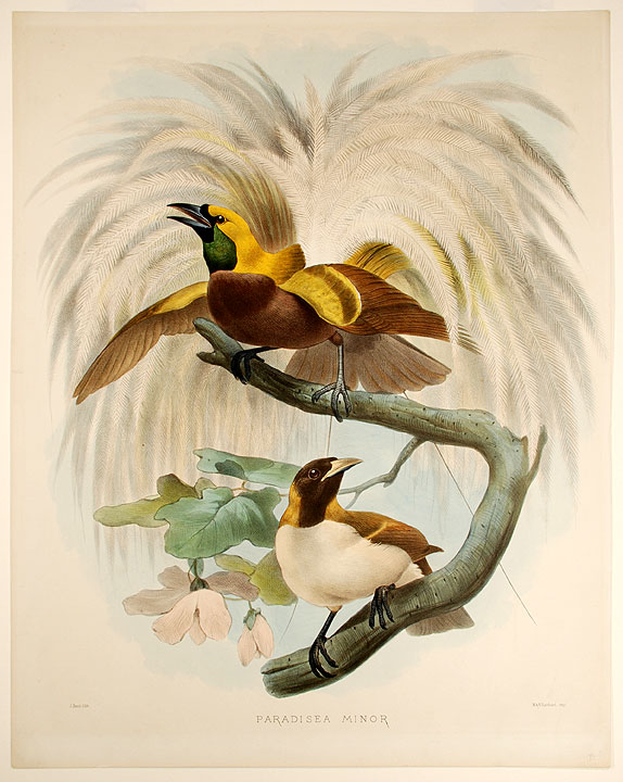 Paradisea Minor [Lesser Bird of Paradise]. Joseph WOLF.
