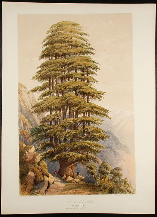 Cedrus Deodara, at Nachar from a drawing by the late Lady Canning (Himalyan Cedar). Edward James RAVENSCROFT, - William RICHARDSON.