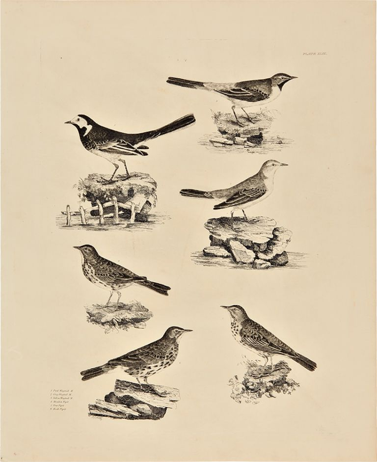 [Plate XLIX] 1. Pied Wagtail M. 2. Grey Wagtail M. 3. Yellow Wagtail M. 4. Meadow Pipit 5. Tree Pipit 6. Rock Pipit. Prideaux John SELBY.