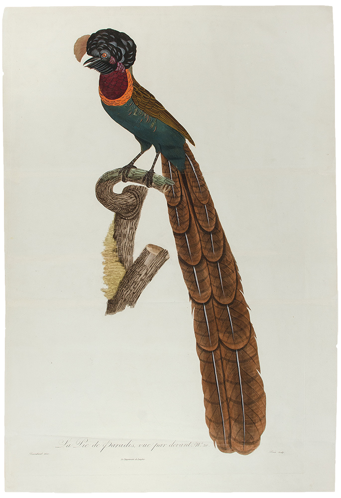 [Bird of Paradise] La Pie de paradis, vue par devent, No. 20. [Arfak Astrapia]. Jacques . BARRABAND, Peree, 1767/.