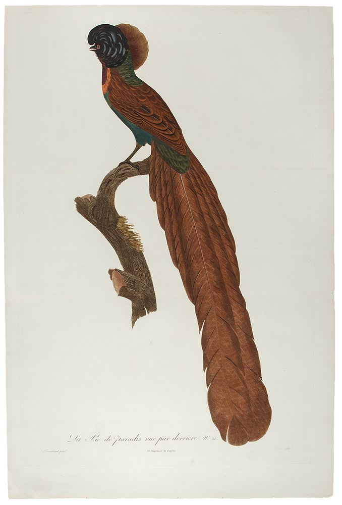 [Bird of Paradise] La Pie de paradis, vue par derriere, No. 21. [Arfak Astrapia]. Jacques . BARRABAND, Peree, 1767/.