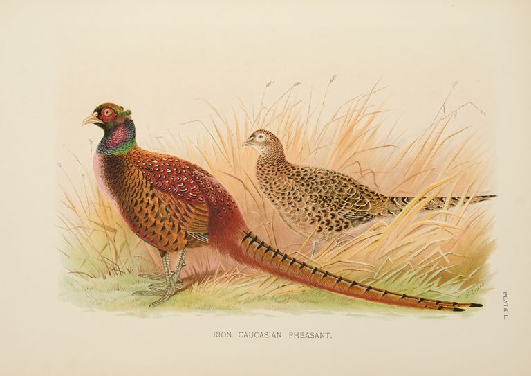 A Monograph of the Pheasants. William Charles BEEBE.