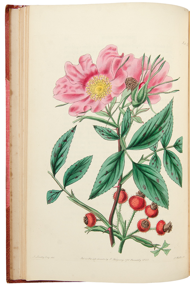 Rosarum Monographia; or, A Botanical History of Roses ... A new edition. John LINDLEY.