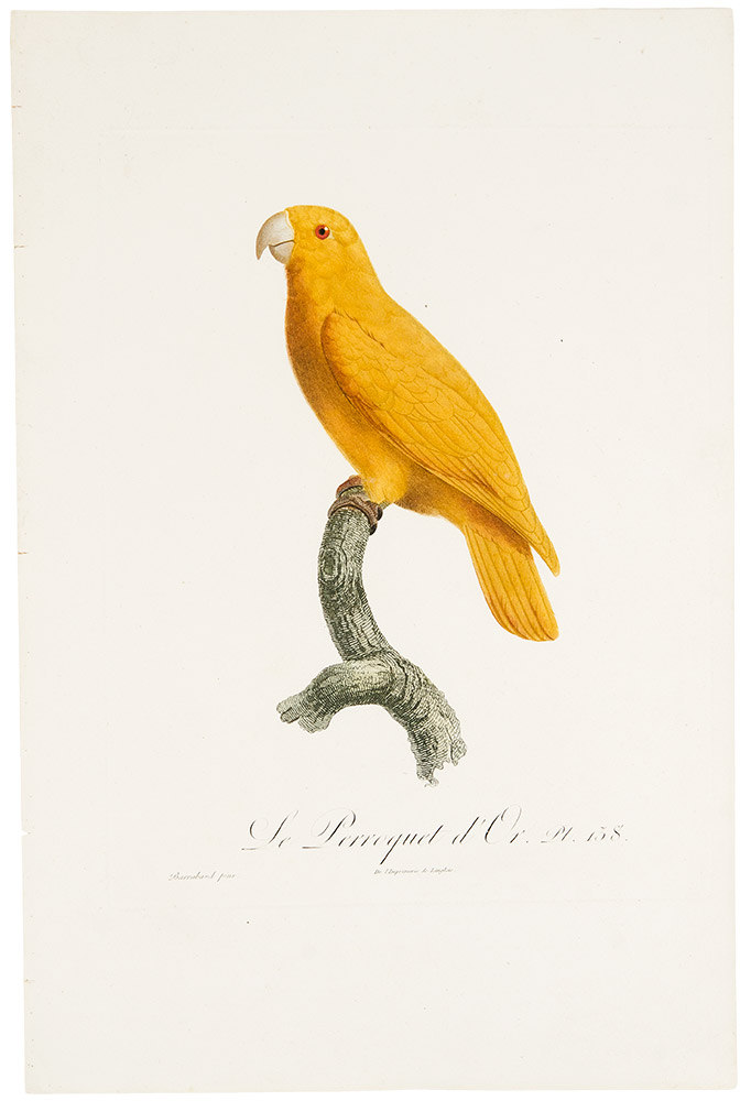 [Golden parakeet or conure] Le Perroquet d'Or. Jacques BARRABAND, 1767/.