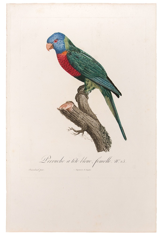 [Blue Headed Parrot] Perruche à tête bleue, femelle. Jacques BARRABAND, 1767/.