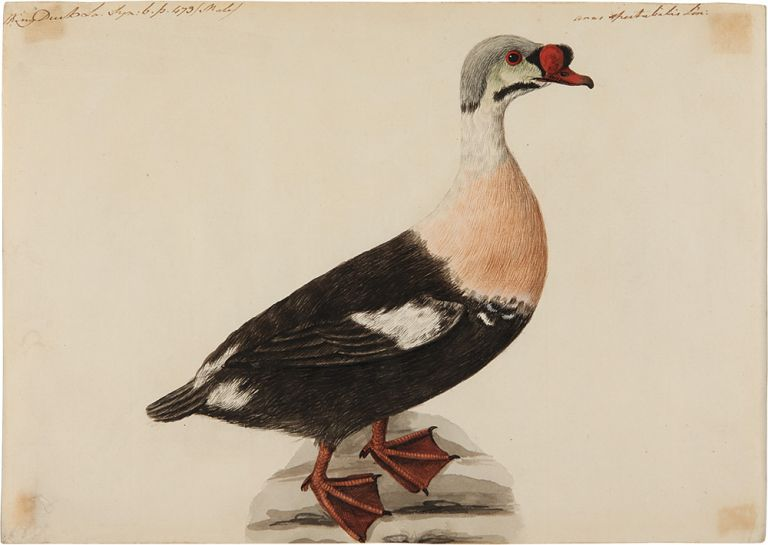 [Pair of Original Watercolors of a Buffle-Headed Duck and a King Eider Duck, attributed to Stone]. Sarah STONE.