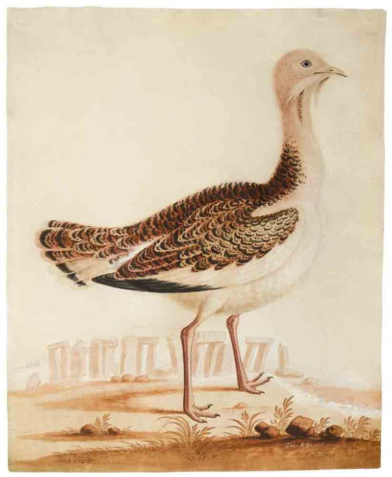 The Bustard Cock [and] The Hen Bustard ... [Pair of ornithological watercolours signed, depicting a male and female Great Bustard]. George EDWARDS.