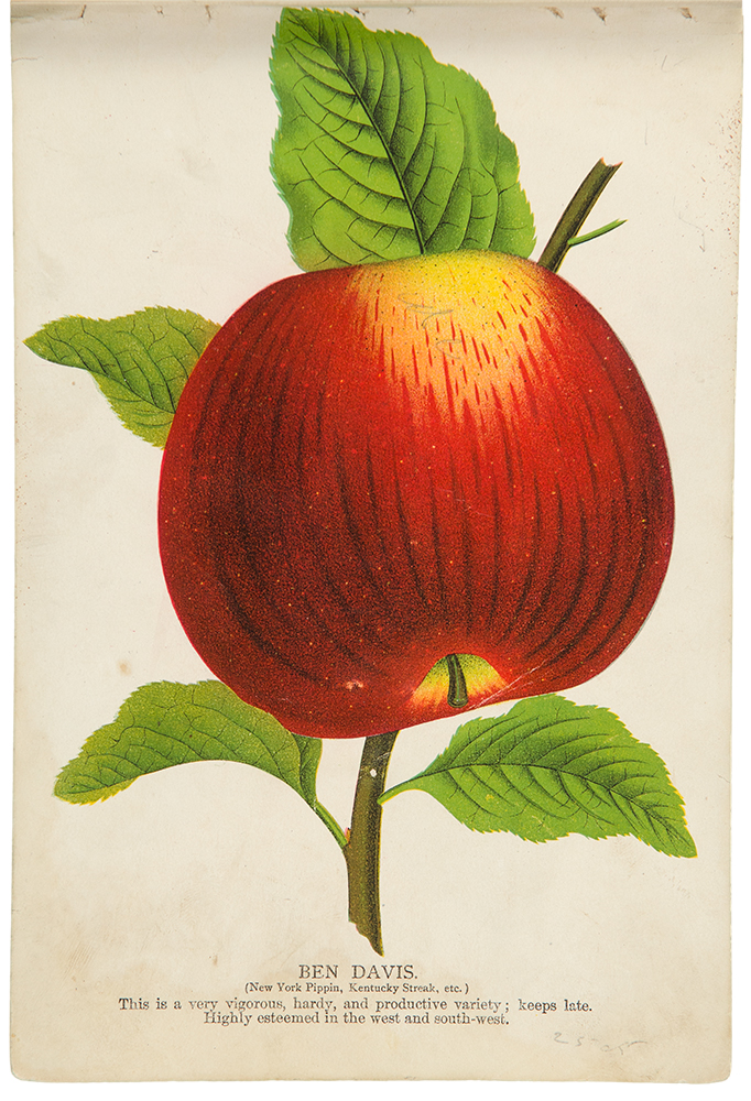 [A tree-peddler's sample book containing a large collection of colour fruit and botanical specimen plates]. MENSING, STECHER LITHOGRAPHIC COMPANY.