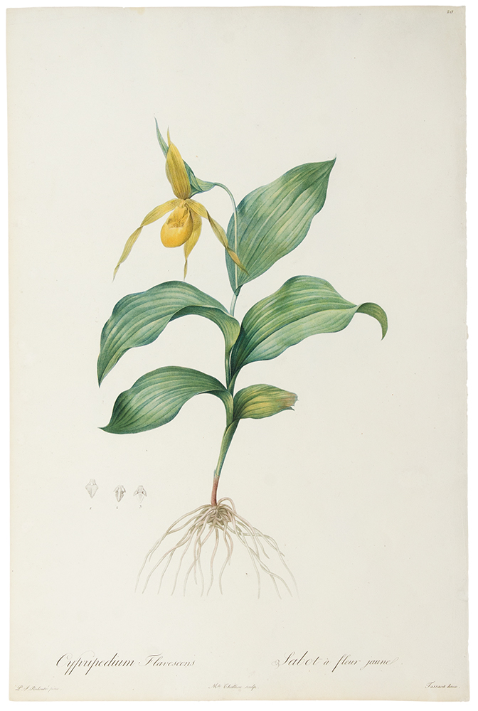 Cypripedium Flavescens / Sabot à fleur jaune [Yellow Lady-slipper]. Pierre-Joseph REDOUTÉ.