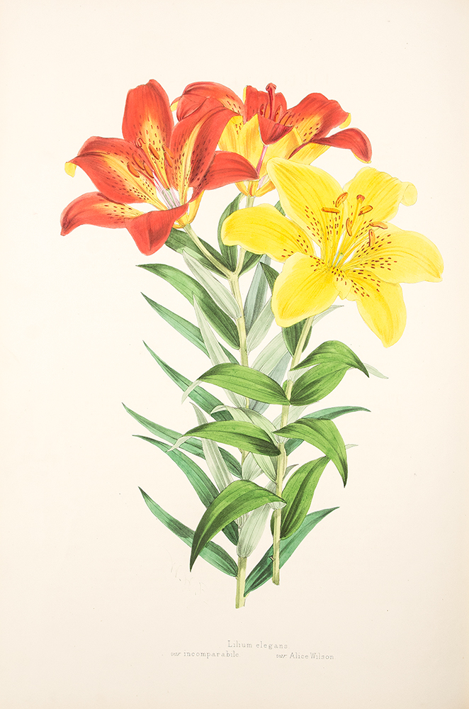 A Monograph of the Genus Lilium ... Illustrated by W. H. Fitch ... [with:] A Supplement to ... by A. Grove ... Illustrated by Lilian Snelling ... [and with:] A Supplement to ... by W. B. Turrill ... Illustrated by Margaret Stones. Henry John ELWES.