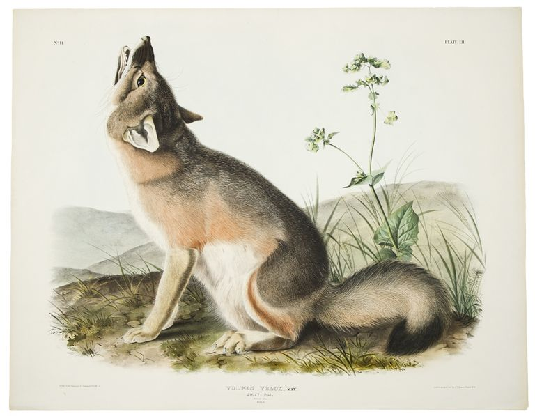 Vulpes Velox, Say. Swift Fox. [Plate LII]. John James AUDUBON.