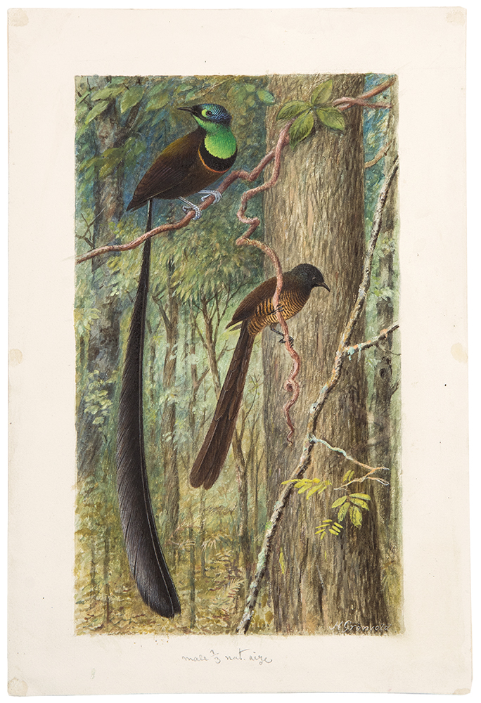 [Original watercolour of a pair of Birds of Paradise]. Henrik GRÖNVOLD.