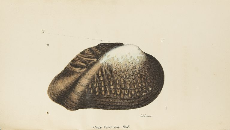 A Monograph of the Fluviatile Bivalve Shells of the River Ohio, containing twelve genera and sixty-eight species. Constantine Samuel RAFINESQUE.