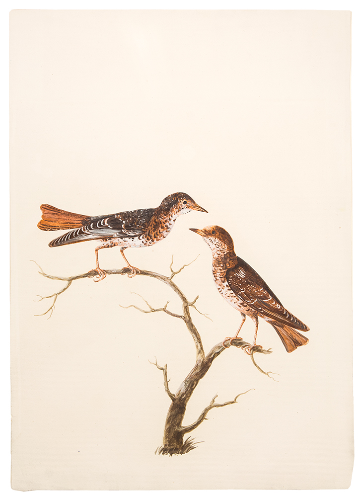 [A Pair of Wrynecks on a Branch]. Peter PAILLOU.