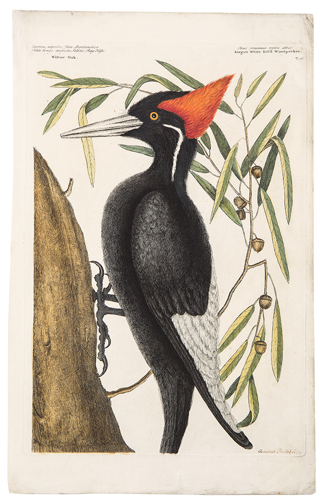 Largest White bill'd Woodpecker. Mark CATESBY.