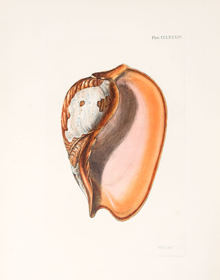 Conchologia Systematica, or Complete System of Conchology: In which the Lepades and Conchiferous Mollusca are described and classified according to their natural organization and habits. Lovell Augustus REEVE.
