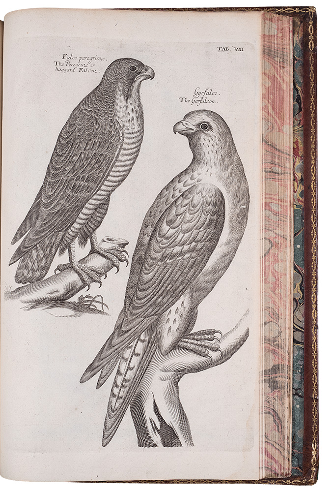 The Ornithology of Francis Willughby ... In three books. Wherein all the birds hitherto known ... are accurately described. Translated into English, with many additions. To which are added three considerable discourses, I. Of the art of fowling ... II. Of the ordering of singing birds. III. Of falconry. By John Ray. Francis WILLUGHBY, John RAY.