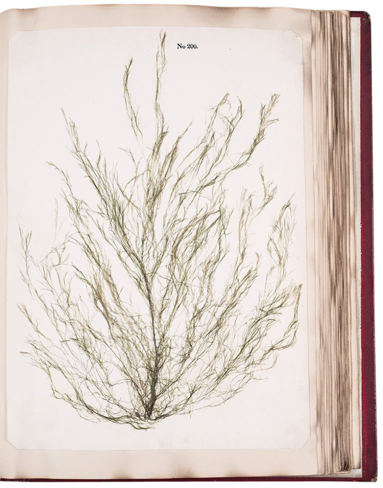 Algae and Corallines, of the Bay & Harbor of New York. Charles Ferson DURANT.