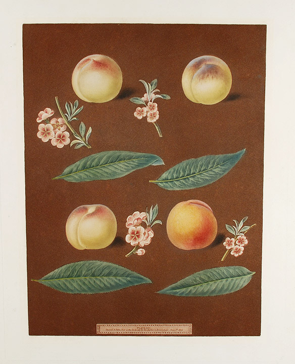 [Peach] White Avant Peach; Bears Red Avant; White Magdalen; Red Magdalen. After George BROOKSHAW.
