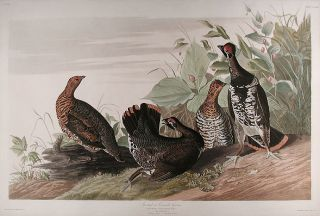 Spotted or Canada Grouse [Spruce Grouse]