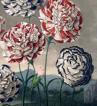 A Group of Carnations [First State]