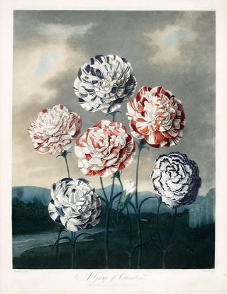 A Group of Carnations [First State]. Robert John THORNTON, - Peter HENDERSON