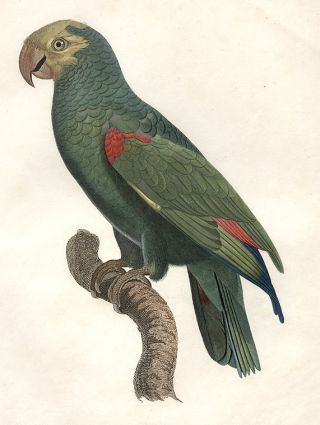 L'amazone à tête jaune (Yellow-crowned Amazon [Amazona ochrocephala])]. Jacques BARRABAND, 1767/