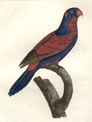 Le Lori Perruche violet et rouge (Red and Blue Lory [Eos histrio])]. Jacques BARRABAND, 1767/