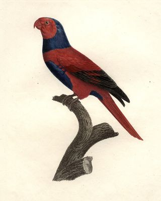 Perruche à Chaperon Bleu (Bechstein's Violet-necked Lory [Eos squamata riciniata])]. Jacques...