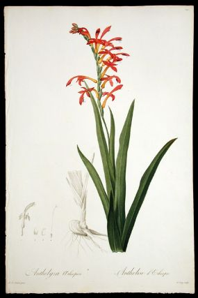 Antholyza Aethiopica / Antholise d'Ethiopie [Flag Lily, Flag-leaved Antholyza]. Pierre-Joseph...