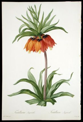 Fritillaria Imperialis / Fritillaire Impériale [Crown Imperial]. Pierre-Joseph REDOUT&Eacute