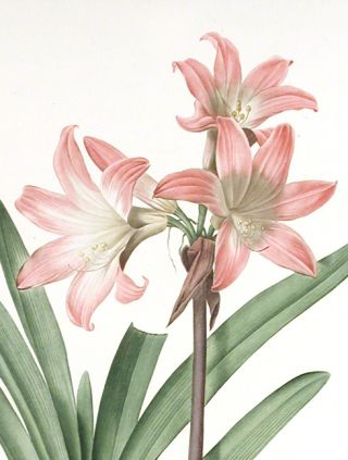 Amaryllis Belladonna / Amaryllis Belladonne [Belladonna Lily, March Lily]