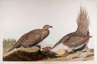 Cock of the Plains [Sage Grouse]. John James AUDUBON