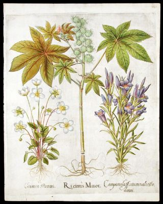 Castor Bean] Ricinus Minor; [Marsh gentian] Campanula Autumnalis Dodonei; [Grass-of-Parnassus]...