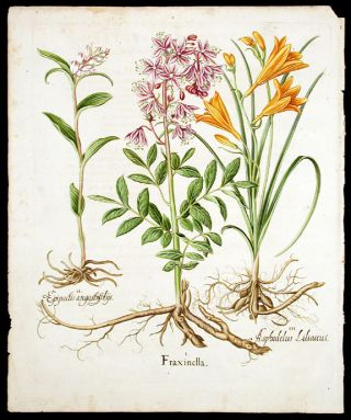 Fraxinella; [Wild orchid] Epipactis angustifoliis; [Yellow daylily] Asphodelus Liliaceus. Basil...