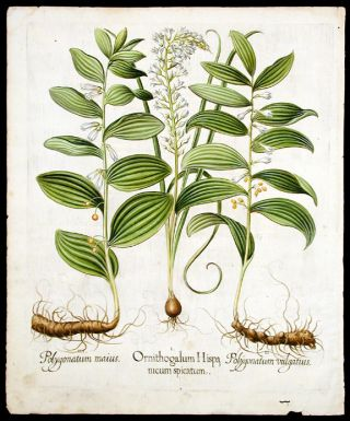 Star-of-Bathlehem] Ornithogalum Hispanicum spicatum; [Multiflorous seal of Solomon] Polygonatum...