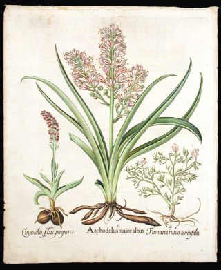 Asphodel] Asphodelus maior albus; [Spotted orchid] Cinosorchis flore purpureo; [Spiked fumitroy]...