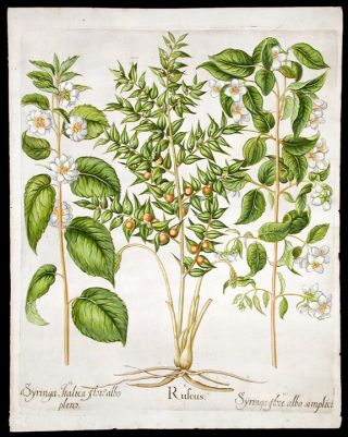 [[Butcher's broom] Ruscus; [Double-flowered mock orange] Syringa Italica flore albo plens; [Mock orange] Syringa flore albo simplici. Basil BESLER.
