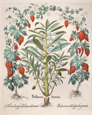 Garden balsam] Balsamina foemina; [Orange-coloured balsam apple] Balsamina Mas fructu puniceo;...