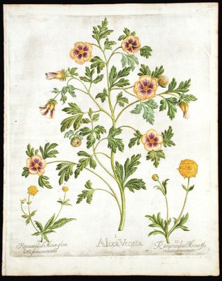 Flower-of-an-hour]Alcea Veneta; [Dbouble-flowered Buttercups] Ranunculus Minor flore luteo plenus...