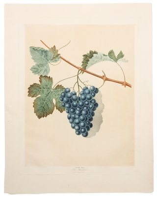 Grapes] Blue Muscadine Grape. After George BROOKSHAW