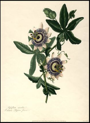Passiflora caerulea Common Passion flower. Mary LAWRANCE