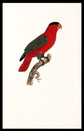 Variété du Lori à collier [Purple-naped Lory (Lorius domicellus)]. Jacques BARRABAND, 1767/
