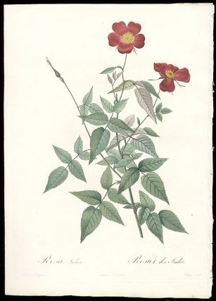 Rosa Indica / Rosier des Indes [Monthly Rose]. After Pierre-Joseph REDOUT&Eacute